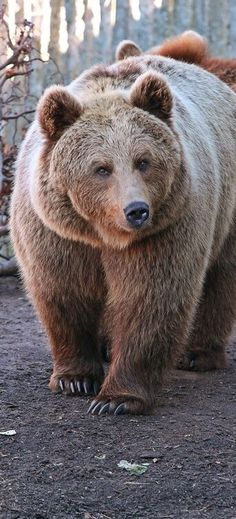 Gorgeous brown bear ✿⊱╮                                                                                                                                                      More