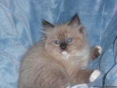 Ragdoll kittens and mink ragdoll kittens
