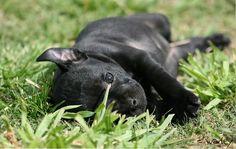 Staffy puppy... ears  <3