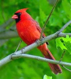 Male Cardinal. Male birds are always the most beautiful in color, to attract a mate.