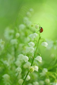 ladybug on lilly of the valley