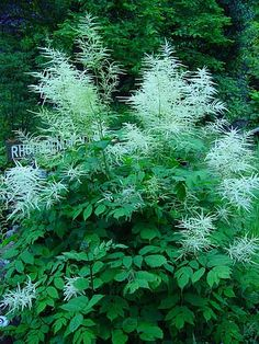 Aruncus dioicus  (Goats' Beard), Very tall 4' to 6' with white plumes, blooms in July, looks like an Astilbe on steroids