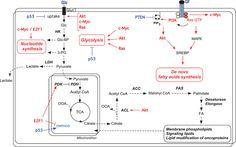 Image result for de novo lipogenesis to palmitate