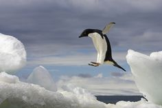 An Adelie penguin jumps on an iceberg in Brown Bluff, Antarctic Peninsula, Antarctica.