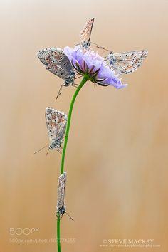 Butterflies by stevemackayphotography. @go4fotos