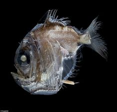 The Hatchetfish (Sternoptyx): The abyss runs as deep as metres, which eight times deeper than an American nuclear submarine can descend Bizarre Animals, Ocean Aquarium, Deep Sea Creatures, Angler Fish, Deep Sea Fishing, Life Form, Sea Monsters, Underwater World, Marine Life