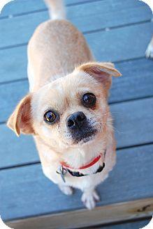 Adopt a Pet :: Spanky - Smyrna, GA - Pug/Chihuahua Mix