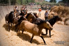 Chilean mares in the traditional celebration called Trilla a Yegua Suelta (Thresing with loose mares).
