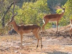 More cool animals seen on an African Safari this week! - Check out these antelopes in their natural habitat! www.thecruiseplanner.com