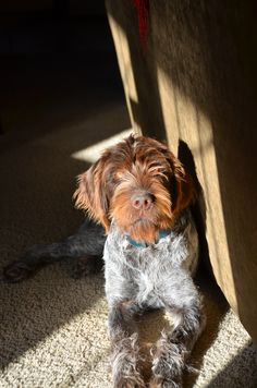6 month old Wirehaired Pointing Griffon loves laying in the sun, inside or out!
