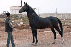 Akhal Teke Akhal Teke Horses, Horse Love, Equestrian, Fantasy, Animals, Beautiful, Animales, Animaux, Horseback Riding