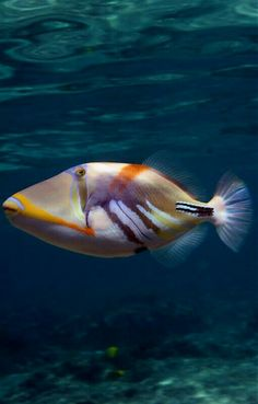 1428 best life in the ocean images angler fish aquarium fish