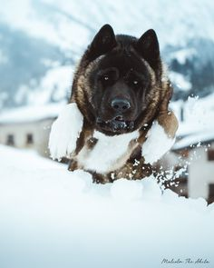 Malcolm the Akita Akita Puppies, Dogs And Puppies, Japanese Akita, Japanese Dogs, American Akita Dog, I Love Dogs, Cute Dogs, Animals And Pets, Cute Animals