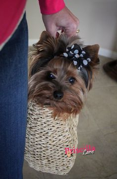 Priscilla Lane - from Owned by Yorkies - https://www.facebook.com/OwnedByYorkies