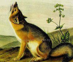 Wild Animal, John Audubon, History Lithograph, Swift Foxes, Prints Nature, Audubon Wild, Animal Prints, Nature History, Foxes John