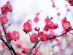 Plum blossom!