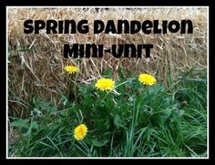 Dandelion mini-unit for pre-k/k. Art, science, recipes, and nature study.