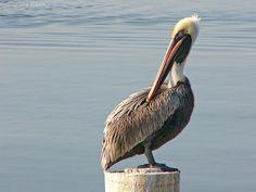 Brown Pelican  Lake Pontchartrain - LOUSIANA