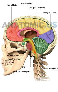 Anatomy Flashcards, Occipital Lobe, Corpus Callosum, Frontal Lobe, Brain Anatomy, Pituitary Gland, Medical Coding, Muscles, Nursing