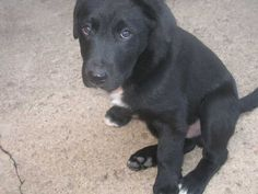 border collie and black lab mix=LOVE