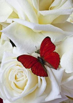 ROSAS 82 - Red butterfly on white roses Papillon Butterfly, Butterfly Kisses, Butterfly Flowers, Beautiful Butterflies, Beautiful Flowers, Simply Beautiful, White Butterfly, Rose Flowers, Art Papillon