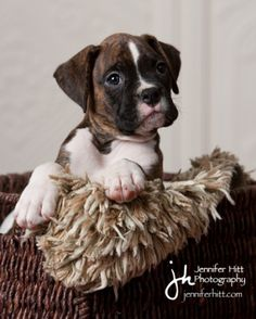 Rocket Boxer Puppies - Week8