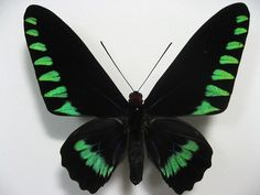 Palawan Birdwing or Triangle Birdwing, male upperside. Trogonoptera trojana (Honrath, 1886).