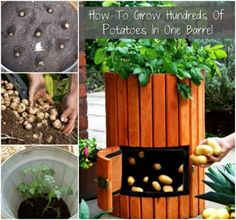 Potato Barrel: How to Plant Potatoes - Wooden Potato Barrel - Potato Barrels - Growing Potatoes in Containers Diy Garden, Edible Garden, Garden Projects, Edible Plants, Organic Gardening, Gardening Tips, Planting Potatoes, Grow Potatoes, Potato Vines