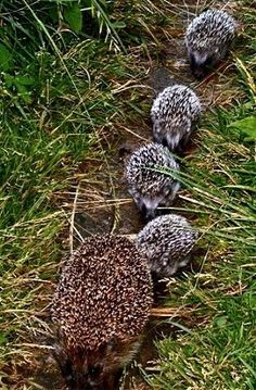 "Mom Hedgehog With Her Four Young, Known As: ""Piglets"" or ""Pups."""