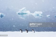 Stock-Foto : penguins and friends