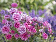 Rosenbild aus dem Rosengarten: Pomponella und Lavendel