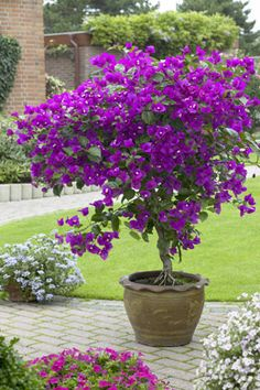 A Tree-Form Bougainvillea in Regal Purple – New River Bougainvillea Standard (Bo… Patio Plants, Garden Plants, Indoor Plants, Conservatory Plants, Flower Landscape, Landscape Design, Garden Design, Container Plants, Container Gardening