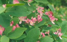 Lonicera tatarica - Tartarian honeysuckle, native to Siberia and eastern Asia. It was introduced to North America in 1752 and is considered now to be a noxious weed. Pink And White Flowers, Red Flowers, Pink White, Plant Identification, Rosy Pink, Ornamental Plants, Shrubs, Allergies, Exotic