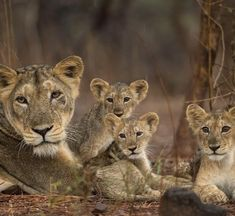 is for CUTE & DANGEROUS animals that would KILL you if they had the chance! We value all life on the planet and agree that. Lioness And Cub Tattoo, Lion Cub Tattoo, Lioness And Cubs, Cute Tiger Cubs, Cute Tigers, Beautiful Cats, Animals Beautiful, Cute Baby Animals, Animals And Pets