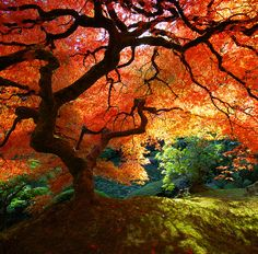 stephen said to pin, cuz we're having this japanese maple tree in our yard someday