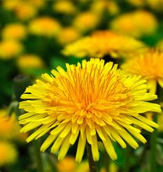 Learn how to grow dandelions from seed for nutritious greens, edible flowers, and tea and you will grow them for years to come in your organic herb garden.
