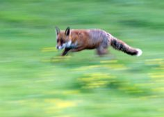 Foxy Fact 11 - A fox can run at speeds up to 30 miles an hour - www.league.org.uk/foxyfeb