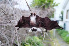 Day 10: Vampire Bat 🦇 Boo! #mabsdrawlloweenclub2017 #mabsdrawlloweenclub #drawlloween #halloween #vampirebaby #bat #needlefelt Vampire Bat, Needle Felting, My Drawings, Halloween, Animals, Animales, Animaux, Halloween Stuff, Animal