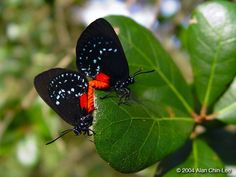 Atala (Eumaeus atala), Florida, USA. Florida Museum of Natural History Lepidoptera Image Gallery, Alan Chin-Lee, photographer.