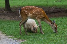 Sika Deer And Pot Bellied Pig