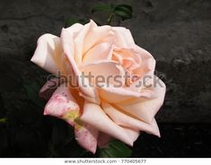 Delicate pink rose against dark rough concrete background