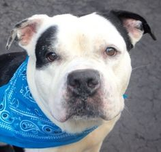 SAFE❤️❤️ 3/18/16 BY IMAGINE PET RESCUE❤️ THANK YOU❤️MR MUSTARD aka DAVID - A1066883 - - Manhattan Please Share: TO BE DESTROYED 03/18/16 **ON PUBLIC LIST** A volunteer writes: Mr Mustard…hmph. I would rather call him Honey. Indeed, he is quite sweet and one of my best lapdogs, not ashamed to lodge his 71 pounds across my thighs, his big head pressed against my chest. Scratches under the chin are most welcome. I love dogs like Mr Mustard. Quite good looking, Mr Mustard seems to have been…