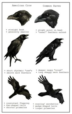 American Crow and Common Raven comparison chart