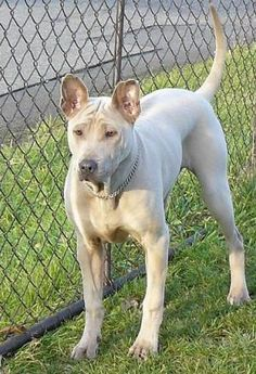 Thai Ridgeback All Dogs, Dogs And Puppies, Doggies, Unusual Dog Breeds, Thai Ridgeback, Short Haired Dogs, Rhodesian Ridgeback, Dog Rules, Dog Tattoos