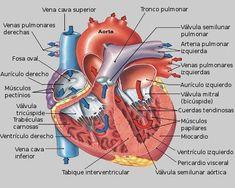 Anatomia del corazon Medicine Notes, Medicine Book, Human Body Anatomy, Human Anatomy And Physiology, Studying Medicine, Human Body Organs, Heart Anatomy, Homo, Medical Anatomy
