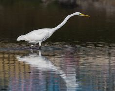 Great Egret with Reflections https://www.facebook.com/bruce.frye.photography