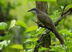 The dark-billed cuckoo is a species of bird in the Cuculidae family, the cuckoos. It is found in Argentina, Bolivia, Brazil, Colombia, Ecuador, French Guiana, Guyana, Paraguay, Peru, Suriname, Trinidad and Tobago, Uruguay and Venezuela.