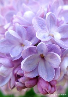 I want lilacs everywhere, I love lilacs and lavender so much
