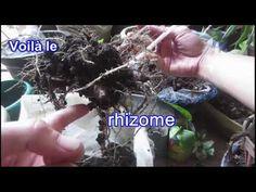 Alocasia Amazonica Exposed - À la recherche dans le sol - YouTube Dan, Tutorials, Gardening, Youtube, Amazons, Lawn And Garden, Youtubers, Youtube Movies, Horticulture