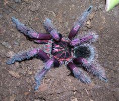 tarantulas - Google Search